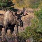 Alaska Wildlife Viewing: The Urban Option