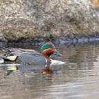 Spring Update: Waterfowl